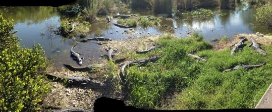 Lotsa Gators